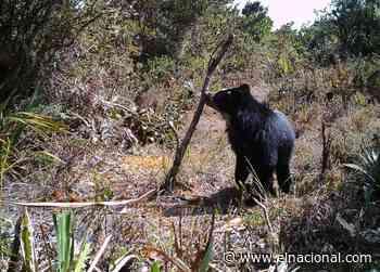¡El Guardián de Los Andes! El oso frontino - El Nacional