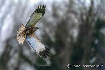 Lipu. Presenza del Falco di Palude nell'Oasi di Gaggio (Marcon – VE) - Il Nuovo Terraglio