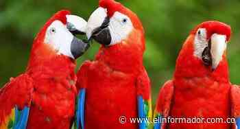 Liberan diez guacamayas rojas, ave en peligro de extinción en Honduras - El Informador - Santa Marta