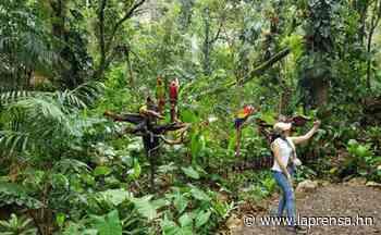 Liberan 10 guacamayas rojas en Copán Ruinas - Diario La Prensa - La Prensa de Honduras