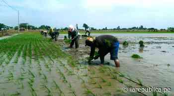 Siembran 68.325 hectáreas de cultivo en valle Chancay – Lambayeque - LaRepública.pe