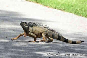 Florida prohíbe tener iguanas mientras enfrenta una invasión de reptiles nunca antes vista - National Geographic en espanol
