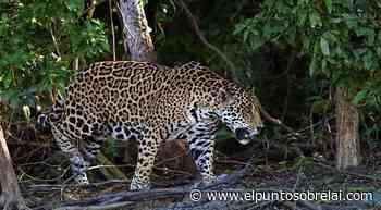 Hacia la extinción del Jaguar en Bacalar - Elpuntosobrelai.com