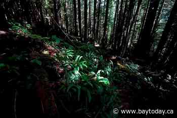 Old-growth advocates say they are digging in after B.C. court grants injunction