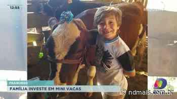 Fraiburgo: Família investe em mini vacas - ND Mais