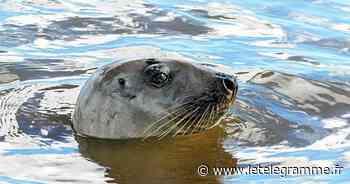 Fouesnant - Le retour des phoques sur le littoral fouesnantais - Le Télégramme