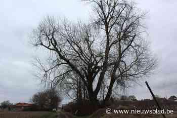 Unieke boom met kap bedreigd in Wellen - Het Nieuwsblad