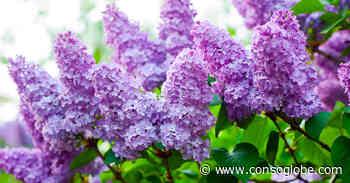 Tous les conseils pour maîtriser la taille du lilas, un arbuste fleuri - consoGlobe