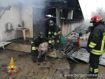 Romano di Lombardia, incendio in cascina: feriti molti degli 800 maiali all'interno - BergamoNews