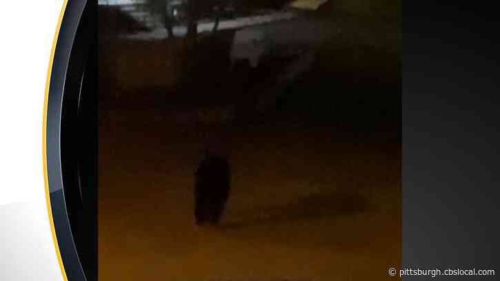 Wayward Bear Wanders Into The City, Spotted By Pittsburgh Police In Overbrook And Mt. Washington