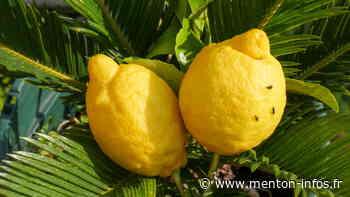 Citron de Menton : des coccinelles pour lutter contre les pucerons - Menton Infos