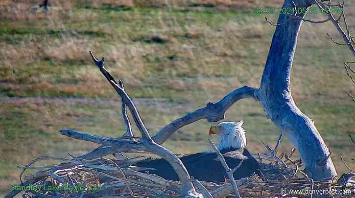 Long-awaited Standley Lake eagle egg finally hatches with another on the way