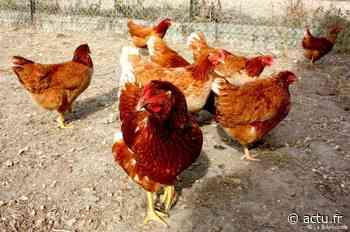 Réduction des déchets autour de Louviers : adoptez des poules ! - actu.fr