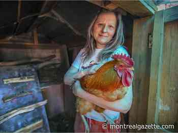 Pointe-Claire woman runs afoul of local chicken bylaws - Montreal Gazette