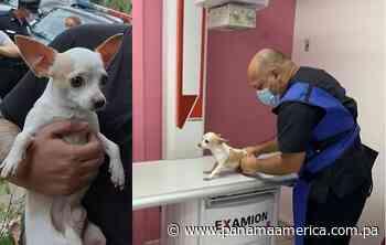 Duque, el perro rescatado en Pacora, sufre múltiples lesiones tras maltrato de su dueño - Panamá América