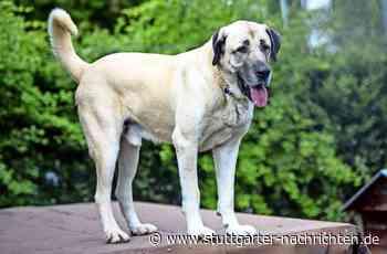 Zwei Hunde im minutenlangen Blutrausch - Kangals attackieren Boxer in Freiberg am Neckar - Stuttgarter Nachrichten