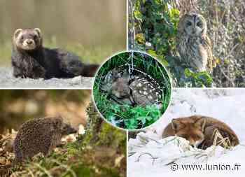 VIDÉO. Les conseils du Parc naturel régional de la Montagne de Reims face à un animal sauvage en détresse - L'Union