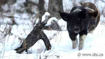 Ontario ups battle against wild pigs to keep province from going to the hogs