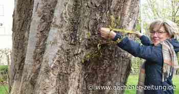 Dritter Versuch in Geilenkirchen: Mit Baumschutzsatzung gegen Klimawandel - Aachener Zeitung