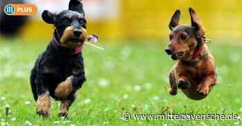 Sengenthal erhöht Hundesteuer kräftig - Mittelbayerische