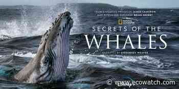 National Geographic Earth Day Series Provides a Rare Glimpse Into Whale Culture - EcoWatch