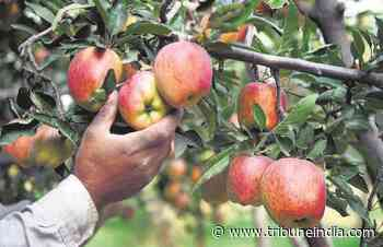 Apple plants imported from Italy hit by disease - The Tribune