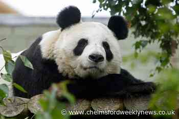 New cub hopes after sole UK female giant panda artificially inseminated - Chelmsford Weekly News