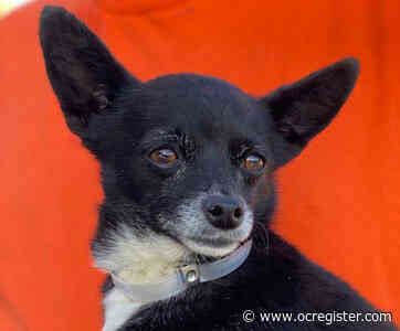Chihuahua mix Huntington would love to love you