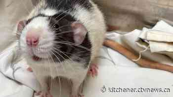 25 rats surrendered to Guelph Humane Society | CTV News - CTV Toronto