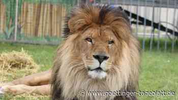 Berühmter Löwen-Opa Kasanga gestorben: Trauer beim Circus Krone