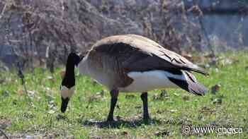An excremental problem: Lachine devises a plan to deal with goose droppings - CBC.ca