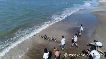 Liberaron a 12 pingüinos magallánicos en las aguas de San Clemente del Tuyú - Weekend