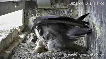Eerste valkje kruipt uit ei in Ukkel