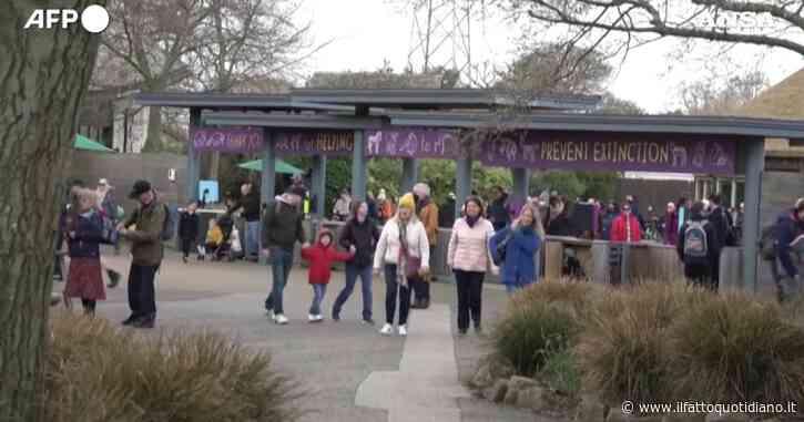 Londra, lo zoo di Chester riapre dopo tre mesi di chiusura per Covid: migliaia di visitatori (senza mascherina) – Video