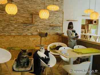 VIDÉO. PHOTOS. Au Ronron Café de Reims, les chats attendent le retour des clients - L'Union