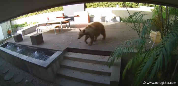 Tiny terriers chase bear out of a Pasadena kitchen in viral video