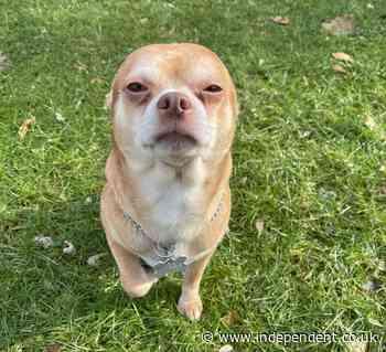 Chihuahua that hates everyone goes viral