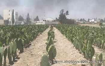 Sequía merma producción de nopal en Tlaxcalancingo - El Sol de Puebla