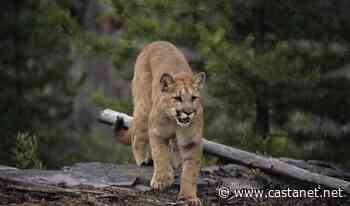 Cougar sighting in Lumby on Whitevale Road - Vernon News - Castanet.net