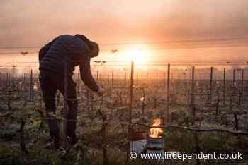 French wine production devastated by frost