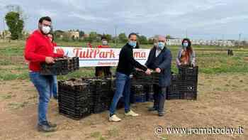 """Tulipark ha donato oltre 20mila bulbi di tulipano al Comune, Boccuzzi: """"Li pianteremo nelle scuole"""""""