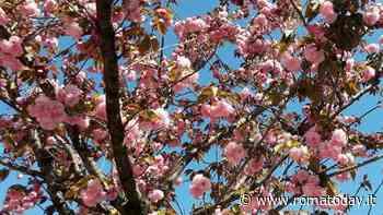 Hanami, la fioritura dei ciliegi è esplosa a Roma: ecco dove