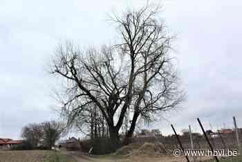 Kostbare boom in Wellen mag nu toch niet meer omgehakt worden - Het Belang van Limburg