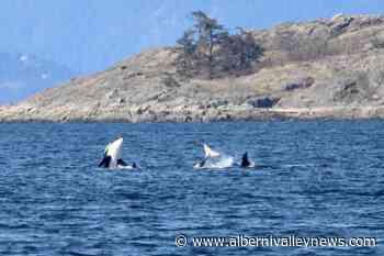 Chainsaw and friends near the beach thrill orca watchers in Lantzville – Port Alberni Valley News - Alberni Valley News