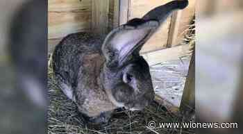 World`s biggest rabbit stolen from home in England - WION