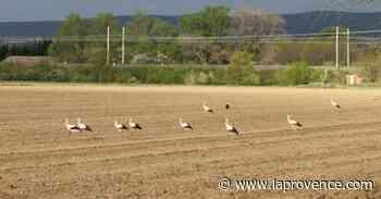 Les cigognes sont de retour à Pierrelatte - La Provence