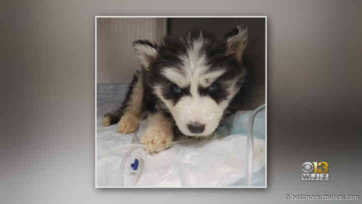 1 Of The 5 Rescued Husky Puppies Doing Well, Going To Live With Foster Family, BARCS Says
