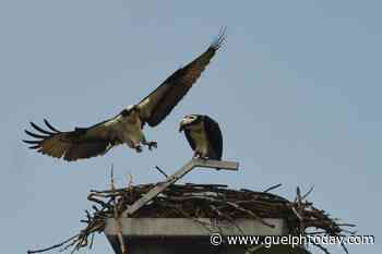 The ospreys have returned to Guelph (4 photos) - GuelphToday