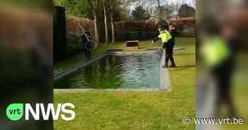 BEKIJK - Bever heeft het naar zijn zin in een zwembad in Heverlee - VRT NWS