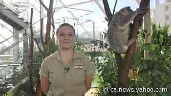 Sydney Zoo Celebrates Season's First Koala Joey - Yahoo News Canada